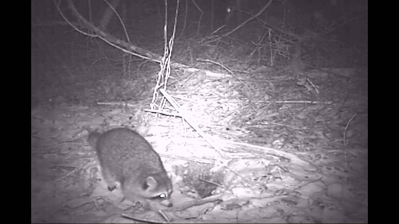 Bushnell Trail Cam Animals at Night - YouTube