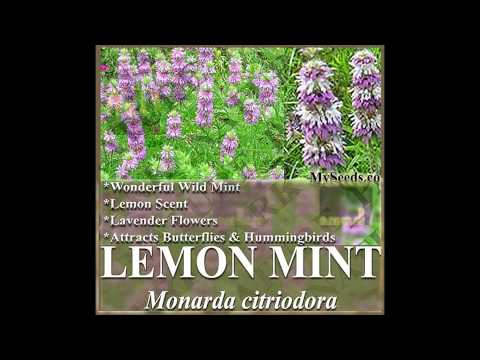 LEMON MINT Herb Seed, LEMON SCENT LAVENDER - Monarda citriodora , HERB SEEDS on  www.MySeeds.Co