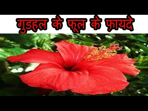 गुडहल के फूल के फ़ायदे | Benefits Of Hibiscus Flower for weight loss, Heart, hair and skin