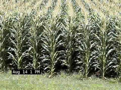 Watch the Corn Grow