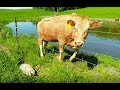 Mother cow clearly asks man to rescue her newborn calf