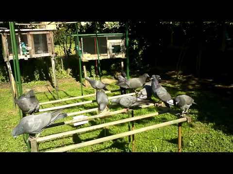 addestramento piccioni caccia al colombaccio