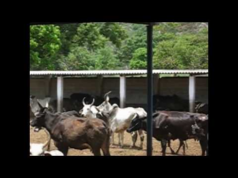 Mating Frenzy In Konkrej Cows With Ongole Bull.avi video