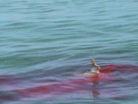 Hammerhead shark eating people - photo#28