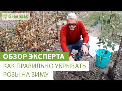 Как правильно укрывать розы на зиму