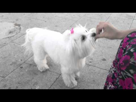 Maltese dog doing tricks - BEBA maltezer