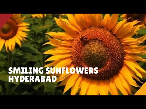 Swaying Sunflower Farm