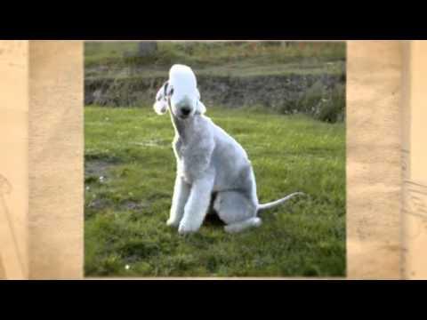 Como Educar a Un Bedlington Terrier