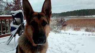 German Shepherd Experiences Snow for the First Time and Barks at it