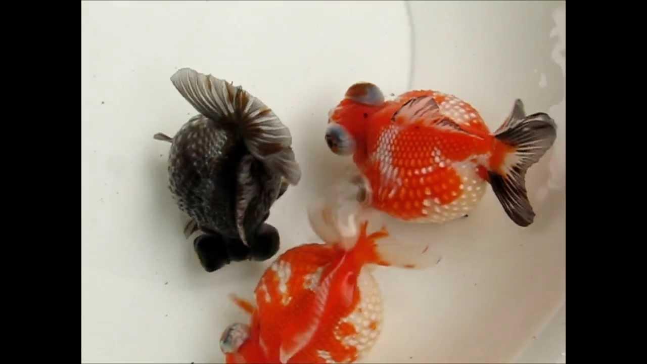 Imagen relacionada | Fauna & Wildlife | Pinterest | Goldfish, Fish ...