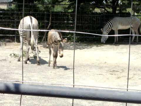 京都市動物園のシマウマの赤ちゃん