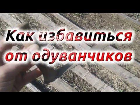 0 - Як вивести кульбаби з городу народними засобами