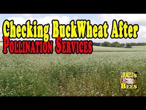 How Buckwheat makes flour