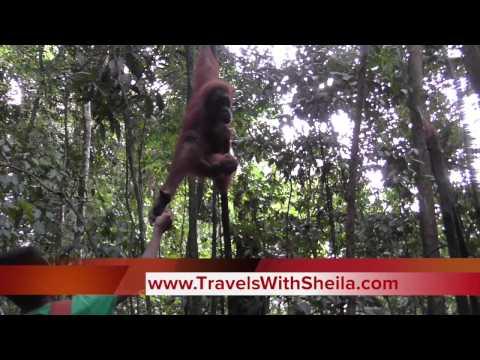 The Astonishing Orangutan Sanctuary in Gunung Leuser National Park North Sumatra