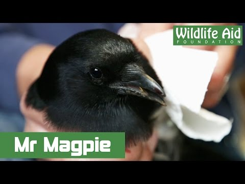 Magpie bites the hand of Simon Cowell!