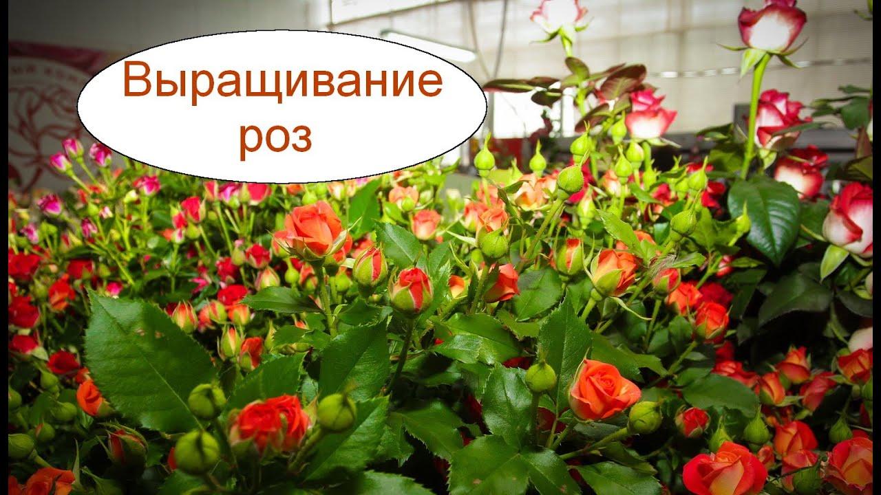 Розы технология выращивания 99