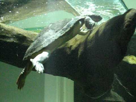 Mary River turtle eating algae.