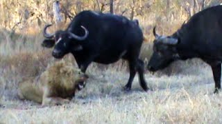 Buffaloes Stop 3 Male Lions From Killing Another Lion | Graphic