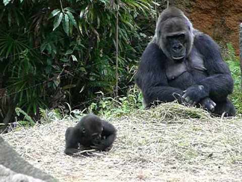 上野動物園のゴリラの赤ちゃんコモモ30