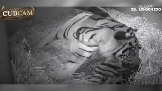 Remarkable Zoo Footage Shows Tiger Giving Birth to Baby
