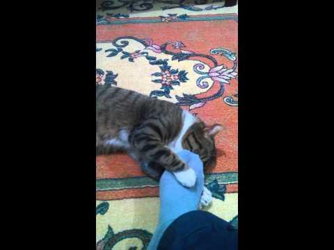 Çorap kokusu seven kedi