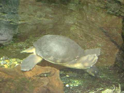 Giant River Turtle
