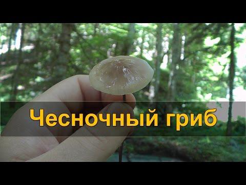ЧЕСНОЧНЫЙ ГРИБ - лесной заменитель чеснока (чесночник)