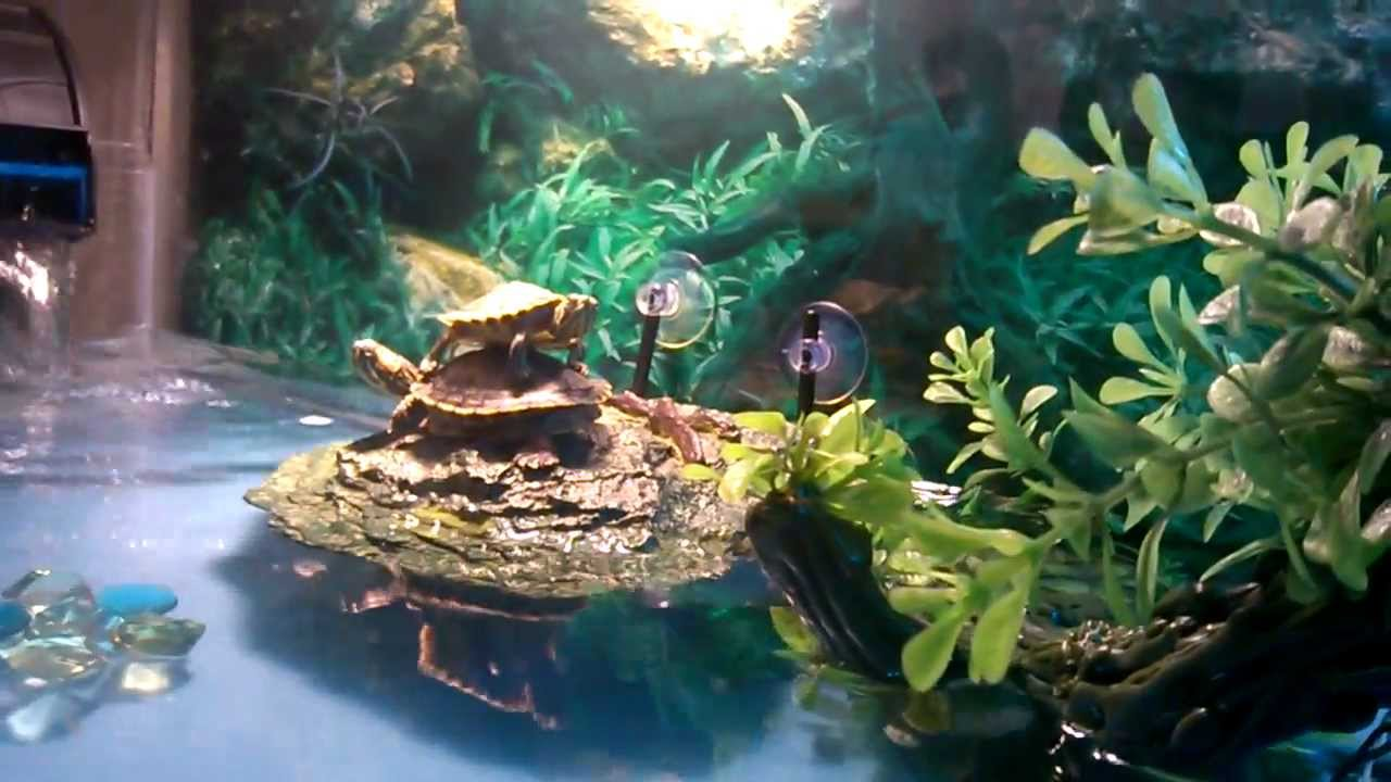 Baby yellow belly slider tank - YouTube
