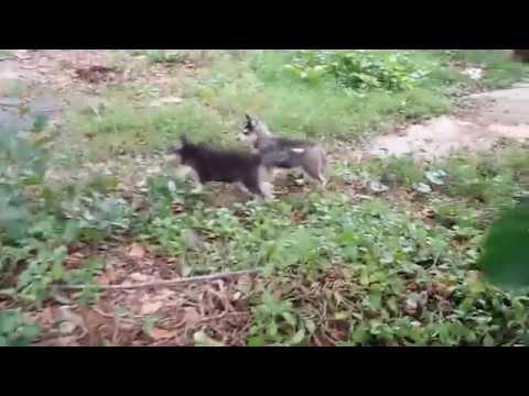 My Husky Huska video
