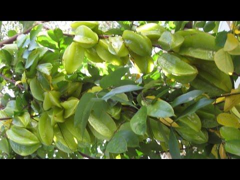 Nhánh khế triểu cành - Star Fruits in Orlando, FL