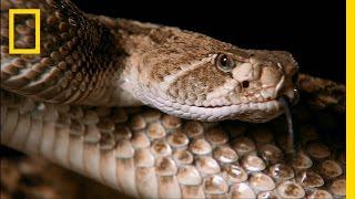 Snake Bite   Do or Die