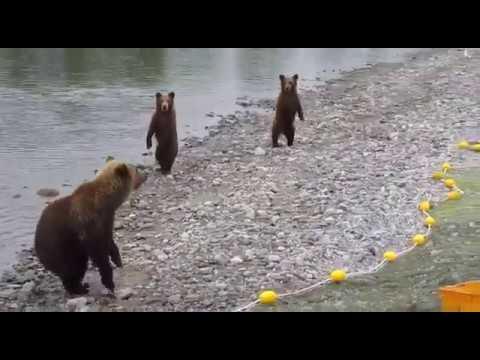 медведи отнимают рыбу у браконьеров     http://ulov-pripay.ru .