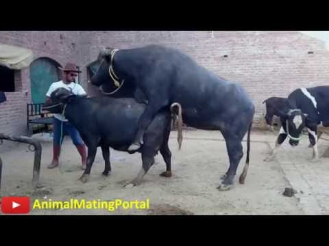 Extreme Cruelty of African Crazy BUFFALO Mating thumbnail