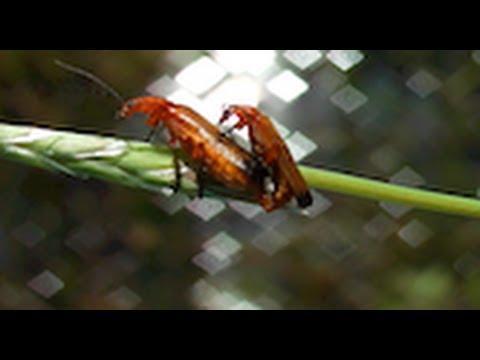 red/scarlet lily beetle | Lilioceris lilii