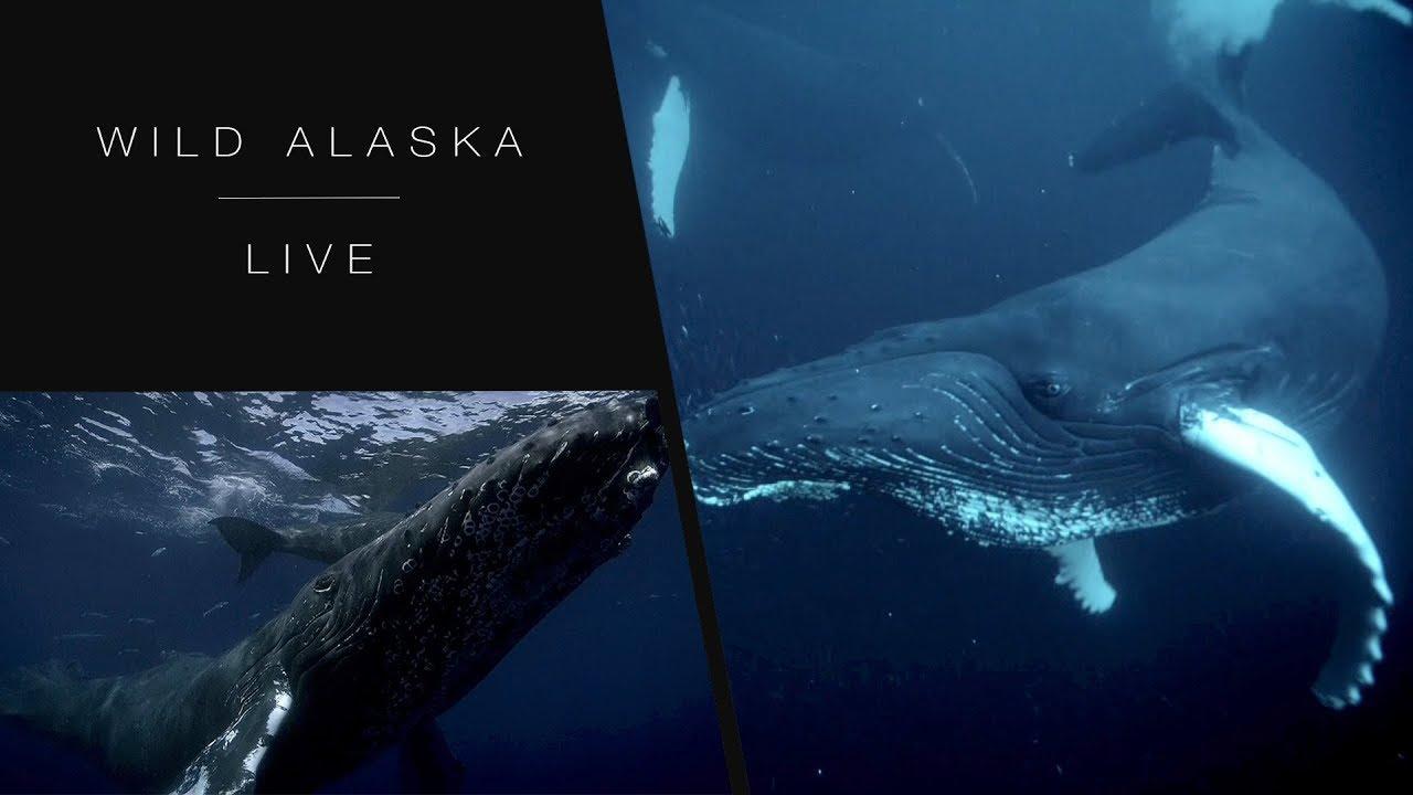 The mighty humpback whale: Wild Alaska Live - BBC One