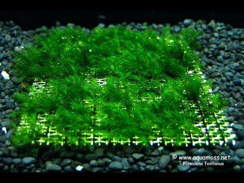 Выращиваем ковер яванского мха на сетке/ Grow A Carpet Of Java Moss On The Mesh