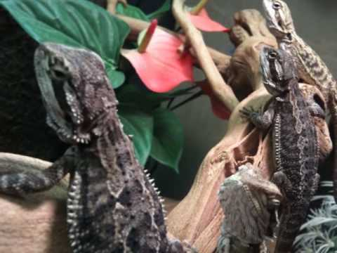 Exo Terra Bearded Dragon Vivarium