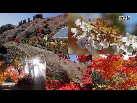 和紙のふるさと小原の紅葉と四季桜