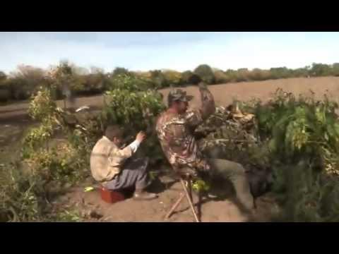 Caçando pombos com arco Bow Dove