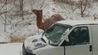 How Camel Ended Up on Snowy Pennsylvania Highway