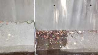 Green snake tries to escape from catchwater - Hong Kong May 2014
