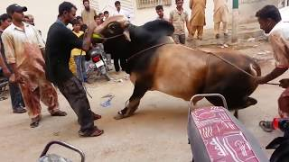 Download Out of Control Danger Black Bull Qurbani | Bakra Eid 2016 Karachi | خطرناک بیل کی قربانی 3Gp Mp4