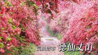 日本屈指のツツジの名所 宮城県気仙沼市 徳仙丈山