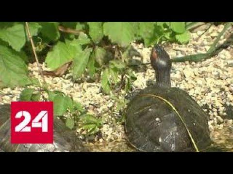 История живых игрушек: красноухую черепаху обнаружили в пруду