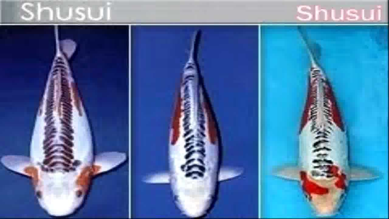 Types of koi carp koi fish youtube for Koi carp varieties
