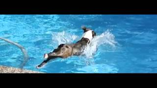 Boston Terrier Slow Motion Dive