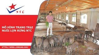 Phóng sự VTV1 - Mô hình trang trại nuôi lợn rừng NTC