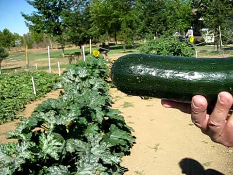 Green Garden HARVEST: How to Harvest Zucchini Squash