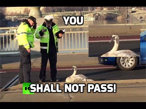 交通渋滞を引き起こすも動く気配なしの困った白鳥