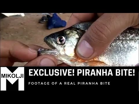 EXCLUSIVE ! PIRANHA BITE !  A must see!